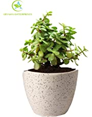 Aryana enterprises Good Luck Jade Plant In Round Dew Ceramic Pot