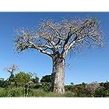 Digitata del Adansonia - Baobab - Plantas tropicales raras de árboles y Bonsai Semillas (5)