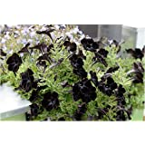 200x Schwarze Petunia Panther-Petunie Black Velvet Black Samen #363