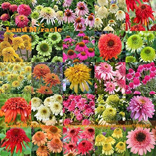 25 Arten Mix Echinacea Außen Blume Pflanze Germinate Samen, 100 Samen, seltene Lang Blüte Sonnenhut Bonsai für Hausgarten Innen