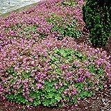Storchschnabel Cambridge 9cm - 5 pflanzen