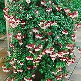 Winterharte Fuchsie Snowcab, pinkweiss, 4 Pflanzen