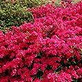Gartenazalee rot von Meingartenshop bei Du und dein Garten