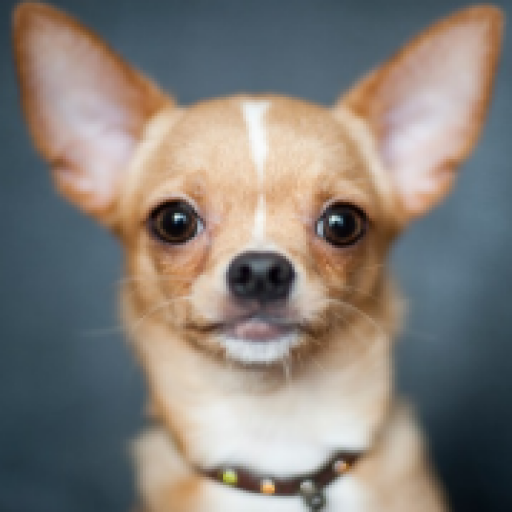 Chihuahua Wallpaper App