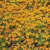 Ringelblume Orange Gem Samen - Schmalblättrige Studentenblume