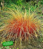 BALDUR-Garten Carex 'Bronze Reflection' Segge winterhart, 3 Pflanzen Ziergräser