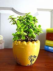 Rolling Nature Good Luck Jade Plant In Yellow Ruffel Aroez Ceramic Pot