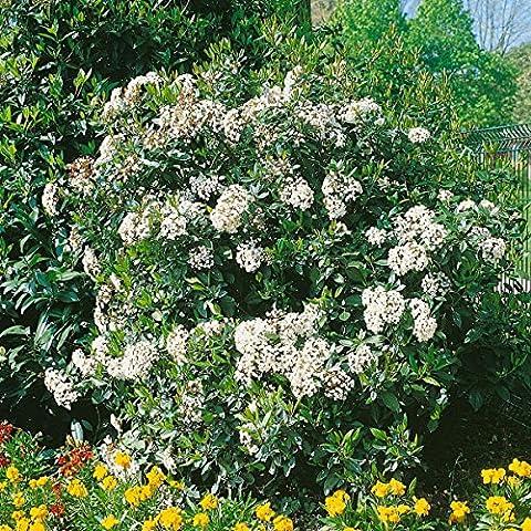 Amazon.de Pflanzenservice Mittelmeer-Winterschneeball, Viburnum tinus, weißbraun blühend, 1 Strauch, 30 - 40 cm hoch, 3 Liter Container