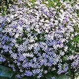 Moosphlox blau - 5 pflanzen
