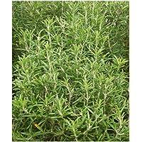 PREMIER SEEDS DIRECT - HERB - Rosemary - 300 Seeds (ROSEMARINUS OFFICINALIS)
