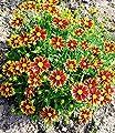 """BALDUR-Garten Coreopsis Li´l Bang """"Daybreak"""",2 Pflanzen von Baldur-Garten bei Du und dein Garten"""