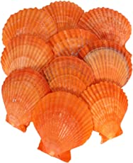 Jainsons Pet Products Sea Shell Aquarium And Home Decoration - 100 G (Pack Of 2) 24-28Pcs