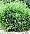 Rarität 1 Pflanze ca. 100-110 cm. Winterharter Bambus Phyllostachys bissetii bis -22 Grad von Peciborsc Pflanzenraritäten bei Du und dein Garten