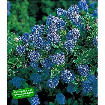 Baldur Garten Immergrune Sackelblume Blauer Ceanothus Blue Mound