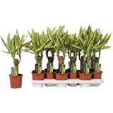 Dracaena Fragans Tronco de Brasil Yellow Coast Tronco Simple Altura 40cm Planta de Interior Natural