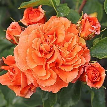 Kordes Rosen Beetrose Orangerie Orange 12 X 12 X 40 Cm 321 31