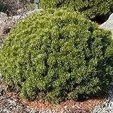 Pinus mugo var.mops - Pino - Maceta de 5Litros