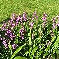 Bletilla striata purple - Japanorchidee 'purple' von Phytesia - Du und dein Garten