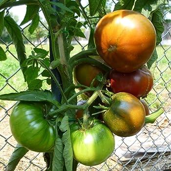 10 Samen Costoluto Genovese Tomate guter Ertrag Fleischtomate