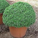 NANO GRECO semi di basilico 6-12 POLLICI PUNGENTE NANO LASCIA 50 COUNT PKT.