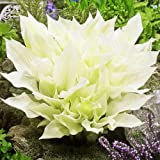 Hosta Planta decorativa Plantas de exterior Bulbos de flores Plantas para jardin 1x Rizoma Hosta blanca White Feather