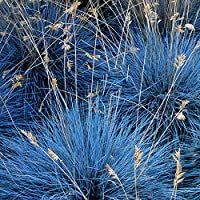 Festuca Glauca Elijah Blue - 3 Plants - Evergreen Outdoor Grasses In 9cm Pot