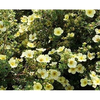 Garden Shrub Plants, Potentilla primrose, pale yellow saucer shaped flowers  in summer, hardy outdoor garden bush