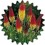 Semillas de lirio de la antorcha / 30 piezas/uvaria Kniphofia/flores de cohetes/perennes/velas de flores vistosas