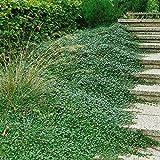 Cotoneaster dammeri,bodendeckend, 3 Pflanzen