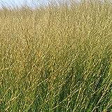 Foerster-Staude Pfeifengras Strahlenquelle im 4er-Set goldbraun blühend Staude Sonne-Halbschatten Molinia caerulea im 0,5 Liter Topf 4 Pflanzen