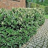 Kirschlorbeer Diana - Prunus laurocerasus - Containerpflanze 40-60cm - Pflanzen in Top Qualität von Garten Schlüter