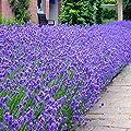 Lavendel Munstead 7cm Topf von Meingartenshop - Du und dein Garten