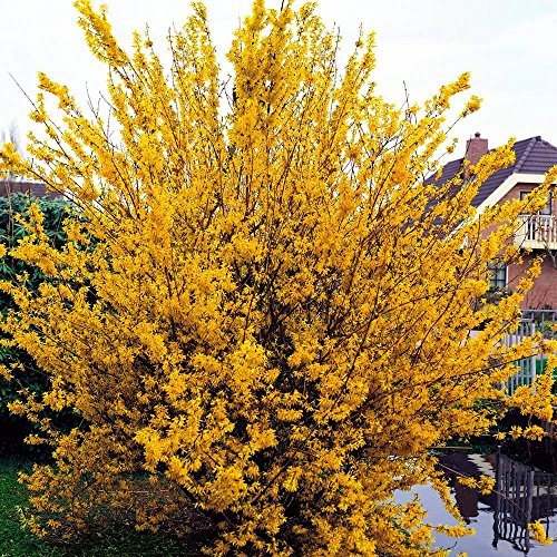 SANHOC Semi Pacchetto: Forsythia intermedia Spectabilis - 1 shrubSEED