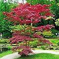 Japanischer Blutahorn von Meingartenshop - Du und dein Garten