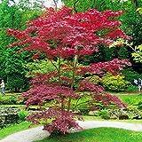 Acer atropurpurea/Erable - 1 arbre