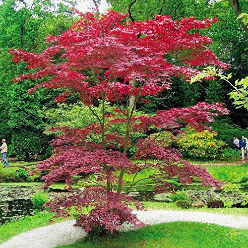 japanese-acer-palmatum-atropurpurea-1-tree