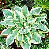 Hosta Planta decorativa Plantas de exterior Plantas ornamentales Plantas bulbos 1x Rizoma Hosta Pilgrim