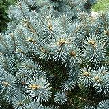 Picea pungens var.montgomery - Picea del Colorado - Maceta de 10Litros