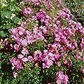 Bodend.Rose 'Mirato' -R- ADR-Rose, A-Qualität Wurzelware von Rosen-Union bei Du und dein Garten