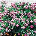 Gärtner Pötschke Rose Jasmina®, im 3-Liter-Topf von Gärtner Pötschke - Du und dein Garten