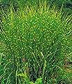 BALDUR-Garten Chinaschilf Zebragras, 3 Pflanzen Miscanthus zebrinus strictus von Baldur-Garten - Du und dein Garten