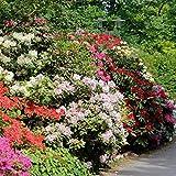 Dominik Blumen und Pflanzen, Rhododendron-Set, je 1 Pflanze rot/rosa, violett/blau, creme/weiß blühend, 20 - 30 cm hoch, 2 Liter Container, winterhart, plus 1 Paar Handschuhe gratis