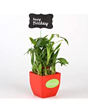 Ferns n Petals 2 Layer Bamboo Plant In Red Pot with Happy Birthday Tag