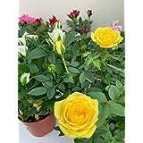 ROSAL MINI - Pack 6 Plantas + Sustrato Universal Ecológico 10 Litros -Rosal Pitimini- Flores de Jardín - Planta Viva - VIPAR