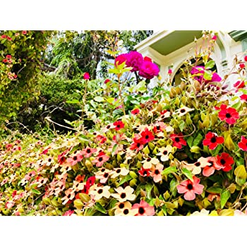 15 Seeds Pictorial Pack Johnsons Flower Black Eyed Susan Sunset Shades
