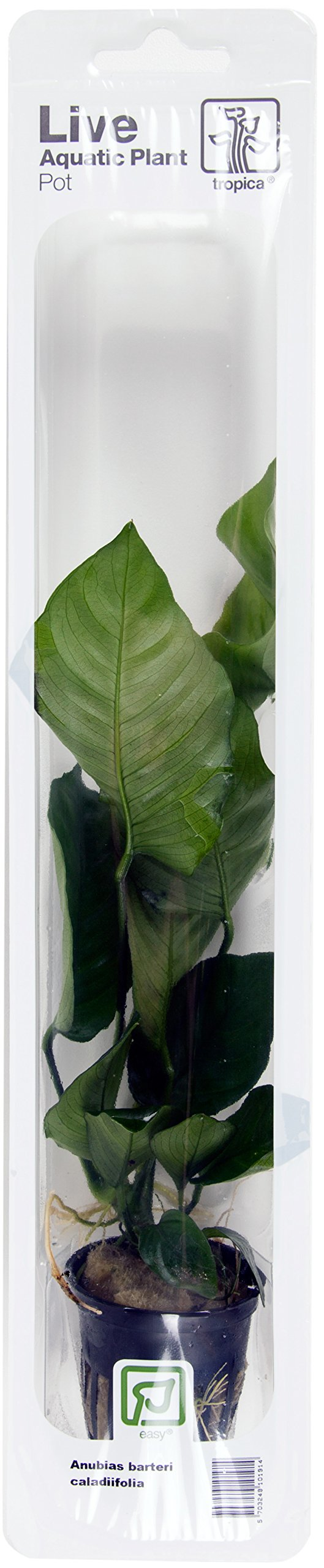 Anubias barteri cladiifolia - Tropica Live Aquarium Plant - EU Grown &  Shrimp Safe