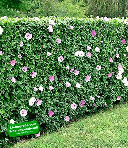 BALDUR-Garten Winterharte Hibiskus-Hecke, 10 Pflanzen, Hibiscus Syriacus