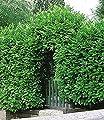 BALDUR-Garten Kirschlorbeer-Hecke 5 Pflanzen Prunus laurocerasus Rotundifolia von Baldur-Garten bei Du und dein Garten