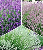 BALDUR-Garten Winterharte Stauden Lavendel-Sortiment blau, rosa, weiß, 9 Pflanzen Lavandula