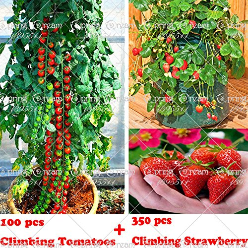 100 arbres tomates grimpante Semences et 300 Graines de fraises d'escalade, les graines de fruits et de légumes pour le jardin de la maison plantiing